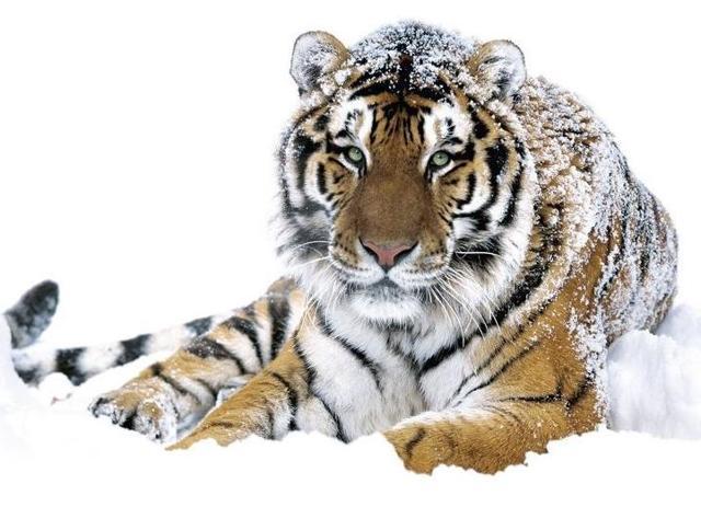 Карта Амурский тигр Россельхозбанка